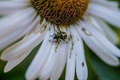 Käfer auf riesigem Gänseblümchen Lizenzfreie Stockbilder