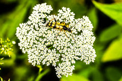 Käfer auf umbellifer Stockfotos