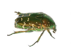 Käfer auf Weiß Stockfotografie