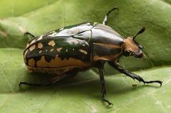 Käfer Chelorrhina-confluens polyphemus – Frau Stockfoto