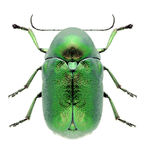 Käfer Cryptocephalus-sericeus Lizenzfreie Stockfotografie