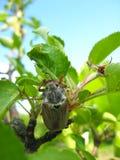 Käfer, der auf dem Blatt klettert Lizenzfreies Stockfoto