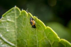 Käfer, der nach Lebensmittel sucht Stockfoto