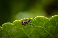Käfer, der nach Lebensmittel sucht Stockbild