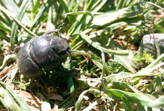 Käfer des Scarabäus auf Grasnahaufnahme Stockfotos