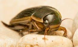 Käfer - Dytiscus-marginalis Lizenzfreies Stockbild