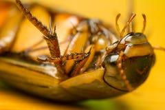 Käfer - Dytiscus-marginalis Stockfoto