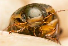 Käfer - Dytiscus-marginalis Stockbild