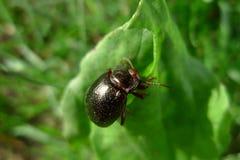 Käfer in einem grünen Blatt lizenzfreie stockfotografie