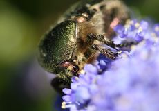 Käfer eingestellter Rebekäfer Stockbild