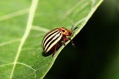 Käfer (Leptinotarsa decemlineata) lizenzfreie stockfotos