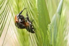 Käfer-Liebe Lizenzfreie Stockbilder