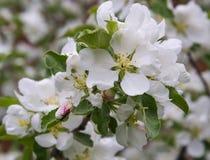 Käfer-Longhorn-Käfer auf den Blumen von Apple Frühling Apfelbaum in der Blüte Stockbilder