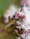 Käfer mit dem Blütenstaub Lizenzfreie Stockfotos