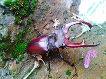 Käfer mit den großen Hörnern, die auf dem Baum sitzen Lizenzfreie Stockbilder