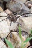 Käfer mit langen Antennen Stockfotografie