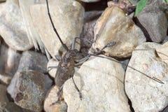 Käfer mit langen Antennen Lizenzfreie Stockfotografie