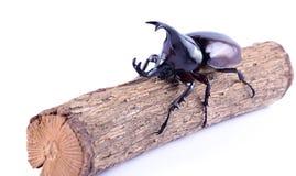 Käfer, Nashorn lokalisiert auf weißem Hintergrund Stockbild