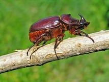 Käfer-Nashorn (Oryctes nasicornis) Lizenzfreies Stockbild