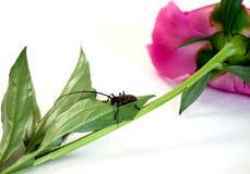Käfer sitzt auf dem Pion lizenzfreies stockbild