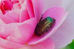 Käfer stieg Stockfotografie