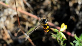 Käfer (Trichodes-apiarus) Biene-essen stock video footage