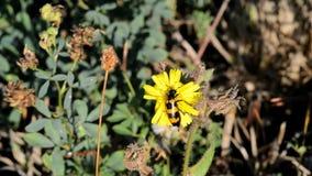 Käfer (Trichodes-apiarus) Biene-essen stock footage