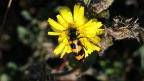 Käfer (Trichodes-apiarus) Biene-essen stock video