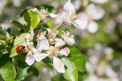 Käfer und Marienkäfer auf Apfelbaumblumen Lizenzfreie Stockfotografie