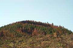 Käferabbruchswald Stockbilder