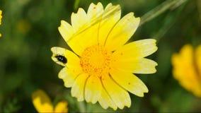 Käferblume stock video footage