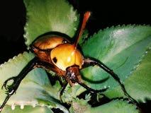 Käferkrieger Lizenzfreies Stockbild