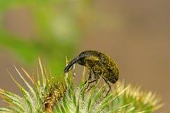 Käferrüsselkäfer, der auf Klette sitzt Stockfotos