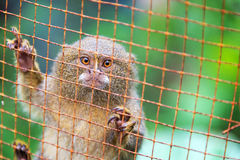 Käfig-Pygmäe-Affe Lizenzfreie Stockfotografie