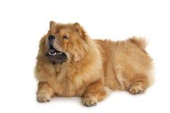Käk-käk hund Royaltyfri Bild