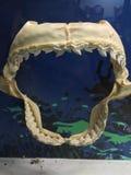 Käkben och tänder av den stora vita hajen Arkivfoto