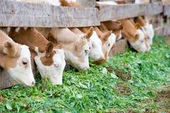 Kälber, die grünes reiches Futter essen Lizenzfreie Stockfotografie