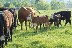 Kälber in einer Herde Lizenzfreie Stockfotos