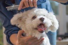 Kämmen des Hundes von Bolognese lizenzfreie stockbilder