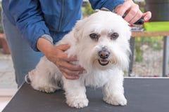 Kämmen des Kopfes des weißen maltesischen Hundes Stockfoto