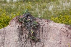 Kämpa kaktuns Arkivfoton