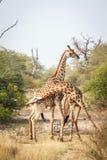 Kämpfen mit zwei Giraffen Lizenzfreie Stockbilder