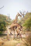 Kämpfen mit zwei Giraffen Stockfotografie