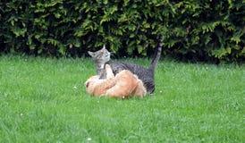 Kämpfen mit zwei Katzen Stockbild