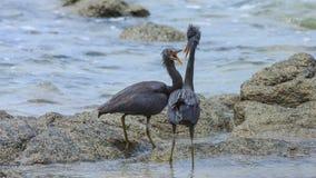 Kämpfen mit zwei pazifisches Riffreihern Lizenzfreies Stockfoto