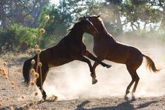 Kämpfen mit zwei Pferden Stockbild