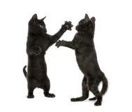 Kämpfen mit zwei schwarzes Kätzchen Stockfotos