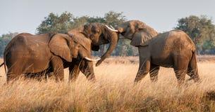 Kämpfende afrikanische Elefanten in der Savanne Afrikanischer Buschelefant des afrikanischen Savannenelefanten, Loxodonta african Lizenzfreie Stockfotos