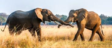 Kämpfende afrikanische Elefanten in der Savanne bei Sonnenuntergang Lizenzfreies Stockfoto