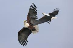 Kämpfende afrikanische Fische Eagles Stockfotos